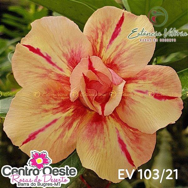 Rosa do Deserto Enxerto - EV-103