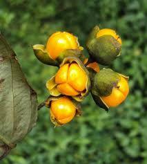Sementes Celastrus Paniculatus Arvore do Intelecto