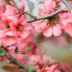 Cherry Blossom (PG) - 10ml