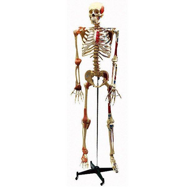 Esqueleto Aprox 168 cm Ligamentos e Inserções Musculares