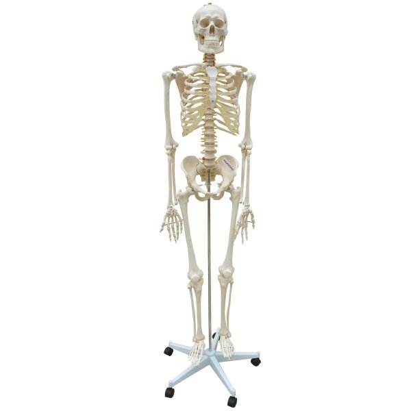 Esqueleto Aprox 168 cm com Coluna Flexível