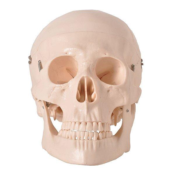 Crânio em 5 Partes - TGD-0102
