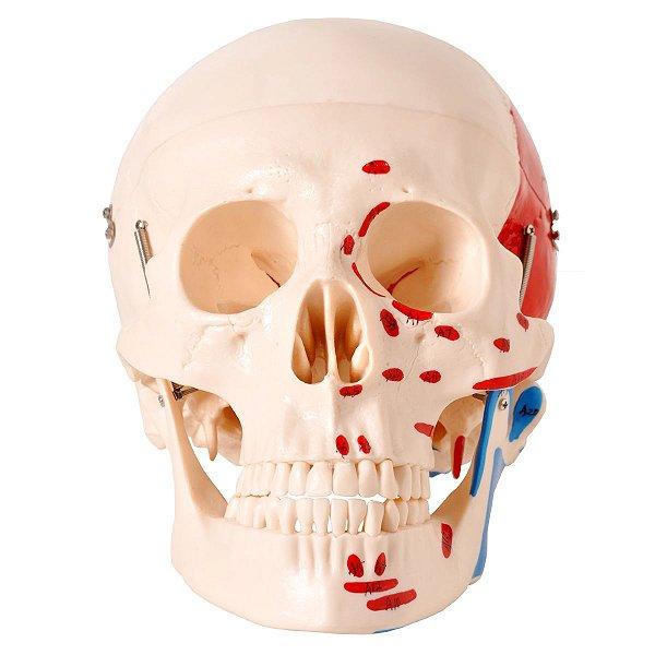 Crânio com Origem e Inserção Muscular 2 Partes - TGD-0102-M
