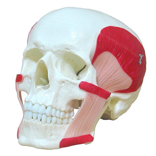 Crânio com Músculo da Mastigação - TGD-0102-MT