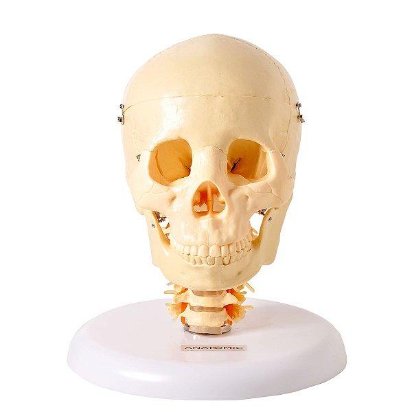 Crânio com Coluna Cervical e Cérebro 13 Partes - TGD-0103-F