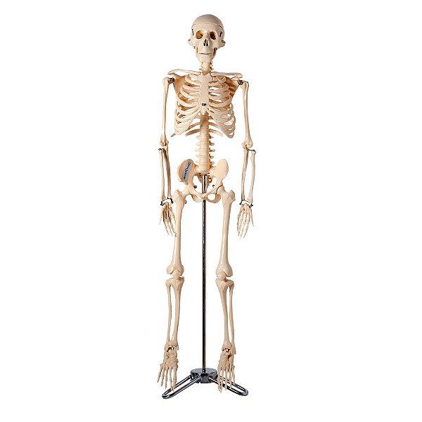 Esqueleto 85 cm - TGD-0112