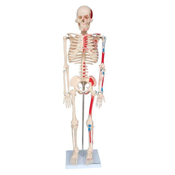 Esqueleto 85 cm Articulado com Inserções Musculares