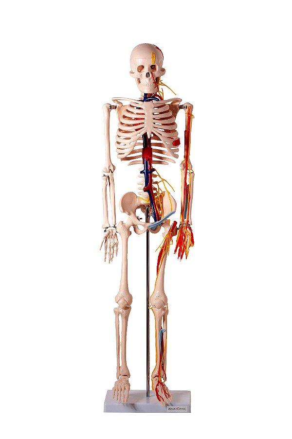 Esqueleto 85 cm com Nervos e Vasos Sanguíneos - TGD-0112-C