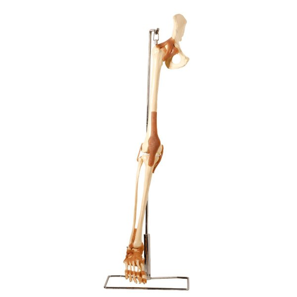Esqueleto do Membro Inferior com Articulações (com suporte)