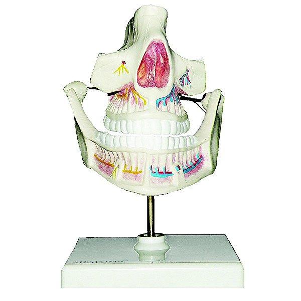 Dentição Adulta - TGD-0313-I