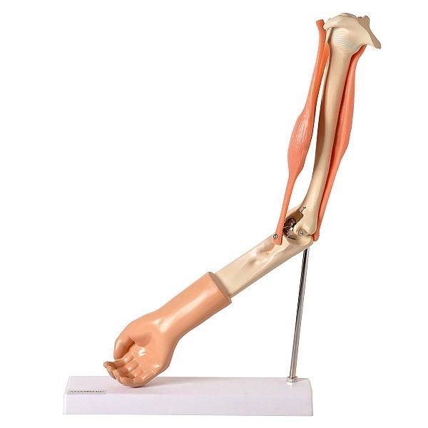 Braço com Músculo Articulado - TGD-0330-A