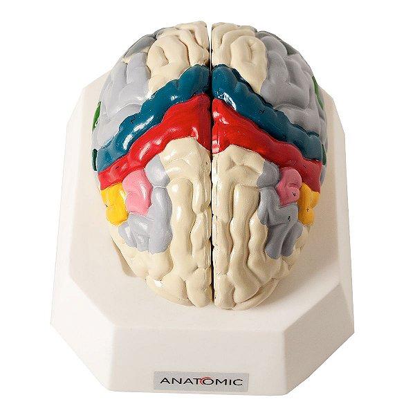 Cérebro com Região Funcional do Córtex em 2 Partes - TZJ-0303-F