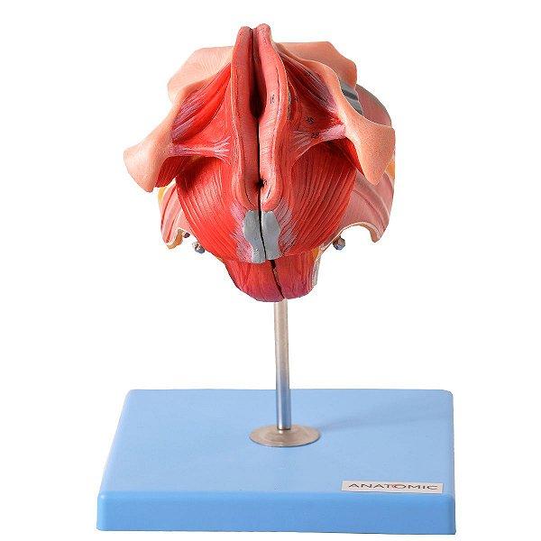 Órgão Genital Feminino em 4 Partes - TZJ-0353-I