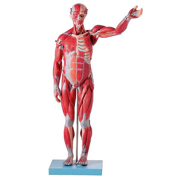 Manequim Muscular Assexuado 78 cm Órgãos Internos 27 Partes