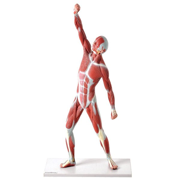 Manequim Muscular 50 cm - TZJ-4005