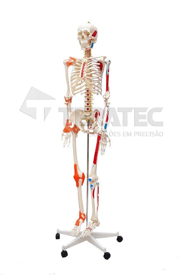 Esqueleto Humano 1,70 cm Muscular e Articulado com Suporte