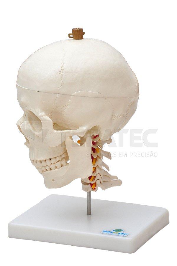Crânio com Mandíbula Móvel e Coluna Cervical - SD-5008