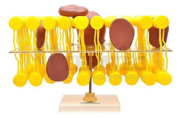 Biomembrana (Membrana Celular) - SD-5074