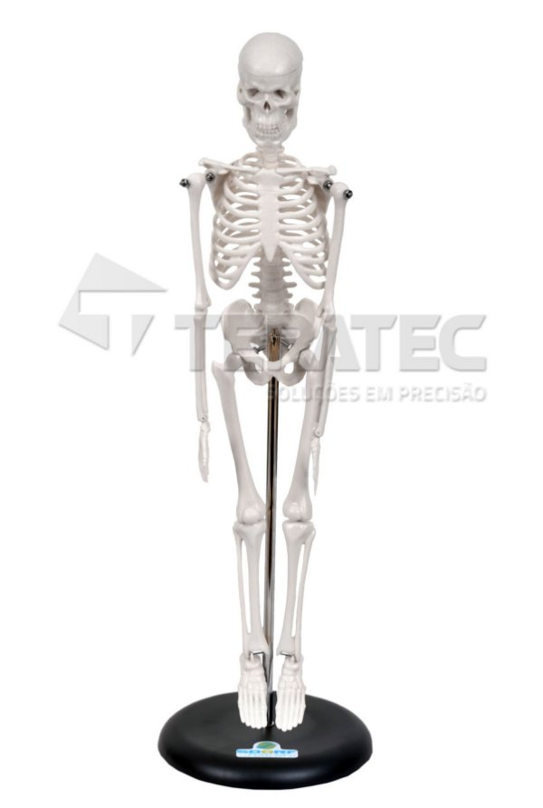 Esqueleto Humano de 45 cm com Suporte - SD-5002-B