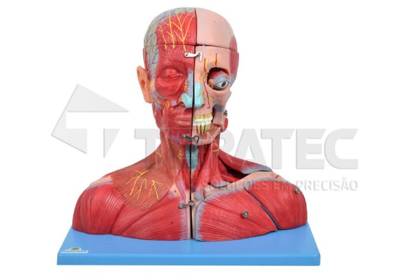 Musculatura da Cabeça Pescoço e Parte do Tronco em 19 Partes -  SD-5025-B