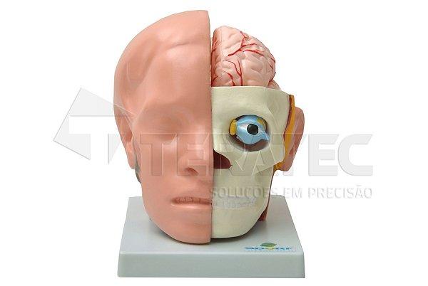 Cabeça em 10 Partes com Cérebro - SD-5037-B
