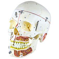 Crânio Adulto com Vasos Sanguíneos e Nervos - TGD-0102-P