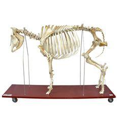 Esqueleto de Vaca Tamanho Natural - TGD-0609-V