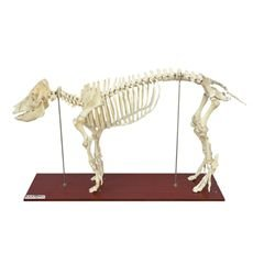 Esqueleto do Porco Tamanho Natural - TGD-0610-P