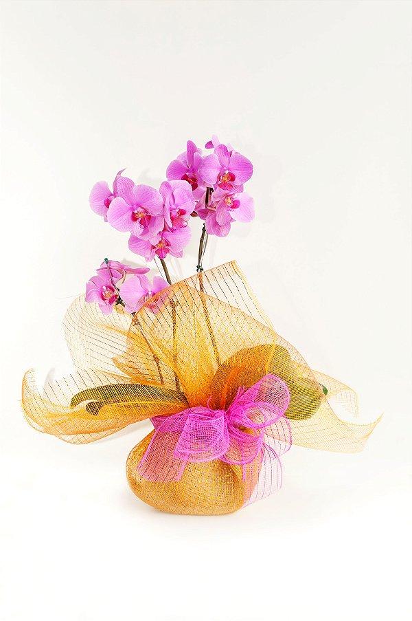 Orquídea Cascata Pink com Astes Duplas