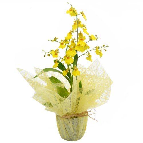 Orquídea da Prosperidade