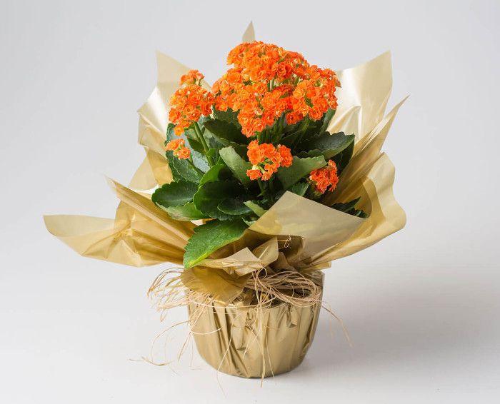 Mini Flor da Fortuna Laranja ou Rosa
