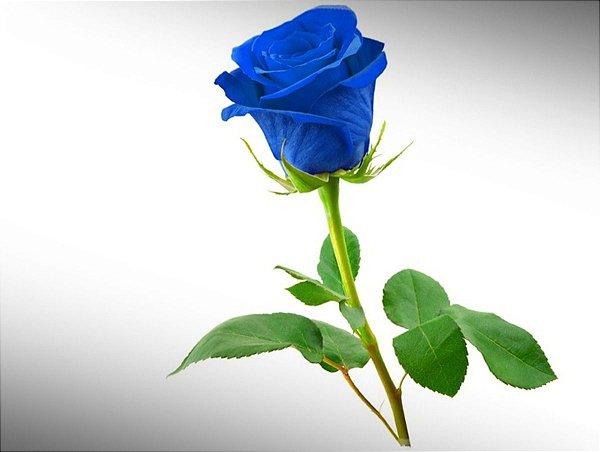 Botão de Rosa Azul Premium