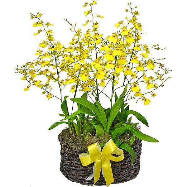 Garden De Orquídea Chuva de Ouro