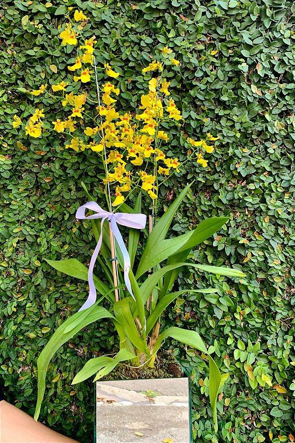 Dupla de Orquídea Chuva De ouro em Vaso Espelhado