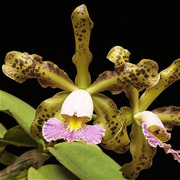 C. Schilleriana Coerulea no toco