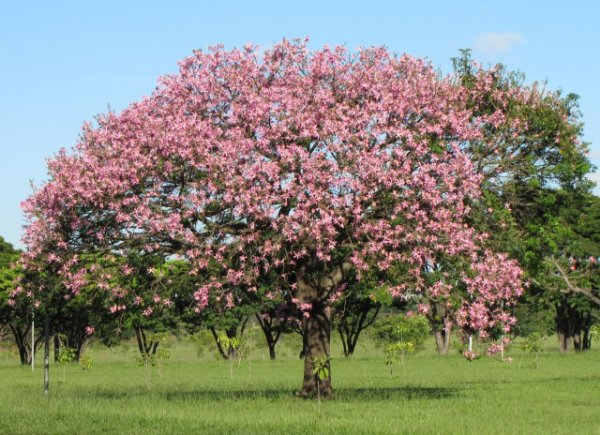 Arvore Nativa para Reflorestamento