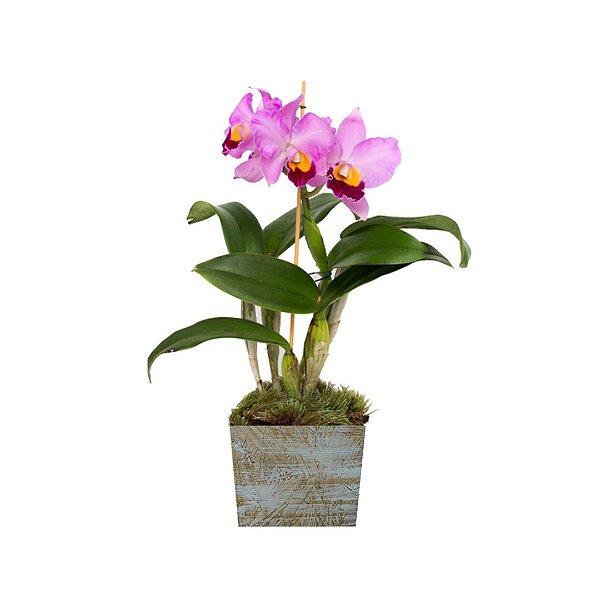Orquídea Cattleya Roxa Na Madeira