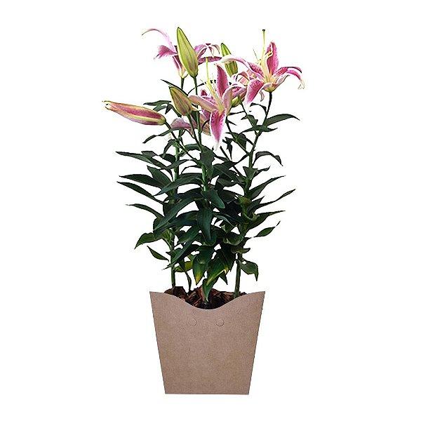 Lírio Rosa Plantado No Cachepot para Presente