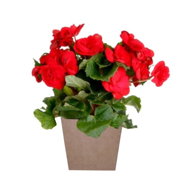 Begônia Vermelha Plantada no Cachepot para Presente