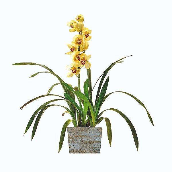 Orquídea Cymbidium Amarela no Cachepot de Madeira