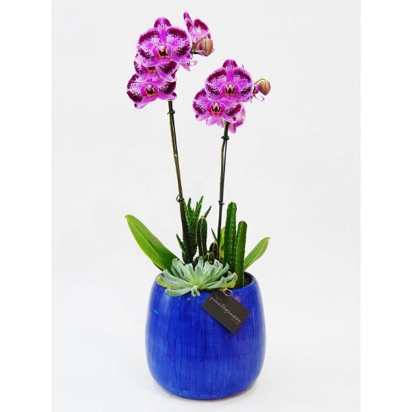 Vaso bojudo grande cerâmica com mini cactos, suculentas e orquídea rosa pink