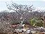 Palo Santo In Natura Pacote com 50g - Imagem 8