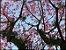 Cerejeira I - Imagem 1