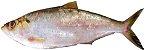 SARDA (Sarda sarda) -Amazon Export  - Imagem 5