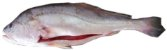 Pescada Branca - White Drum - Plagioscion Squamosissimus - Corvina White - Imagem 1