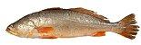 YELLOW CROAKER (Cynoscion acoupa) - Amazon Export   - Imagem 5
