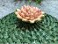 Boleira verde em vime com flor rosê.  D=35 x H=15 cm - Imagem 3