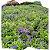 Flor Lobélia cx c/ 15 mudas - Imagem 1