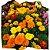 Flor Tagetes cx c/ 15 mudas - Imagem 1