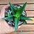 Alworthia 'Black Gem' (Aloe speciosa x H. cymbiformis) - Imagem 1